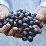 twee handen vol met blauwe druiven
