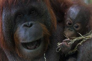 orang oetan met kleintje
