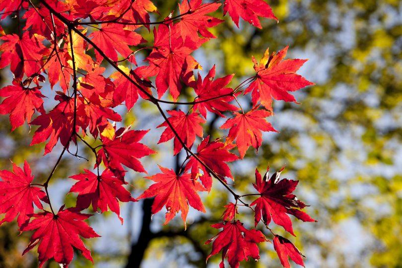 rode bladeren in de herfst