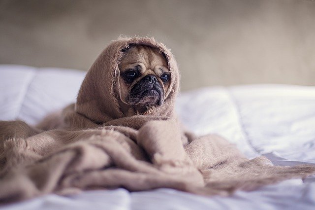 hond op bed